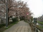 fukurogawa_sakura20070402.JPG